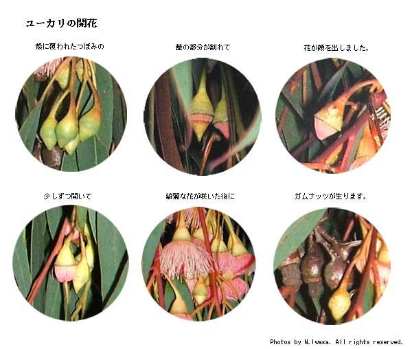 ユーカリの開花